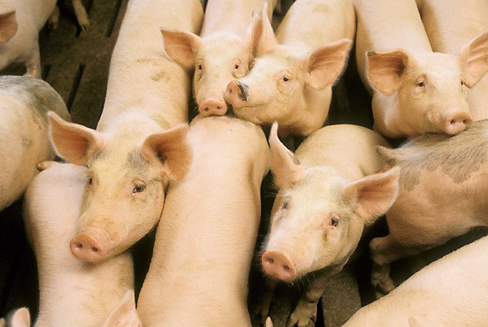 USDA scientists are stepping up their efforts to help fight deadly swine viruses that are prevalent in other countries and pose a threat to the United States?