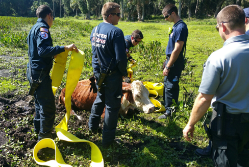 A cow in Sumter County was recently rescued with SART equipment by fire and EMS officials?